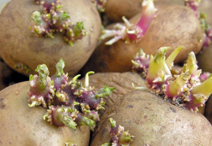 Лечим суставы настойкой из картофельных ростков